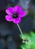 η δροσιά ρίχνει το φρέσκο ροζ γερανιών Στοκ Φωτογραφίες