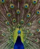 Η δόξα ενός peacock στοκ εικόνα με δικαίωμα ελεύθερης χρήσης