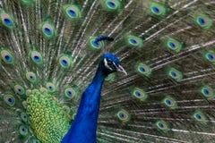 Η δόξα ενός peacock στοκ φωτογραφίες με δικαίωμα ελεύθερης χρήσης