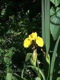Η εγγενής Iris στοκ εικόνα με δικαίωμα ελεύθερης χρήσης