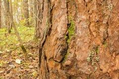 Η εικόνα κινηματογραφήσεων σε πρώτο πλάνο ενός πεύκου στο δάσος σε ένα θολωμένο υπόβαθρο της γης που καλύπτεται με το πεσμένο φθι Στοκ Εικόνες