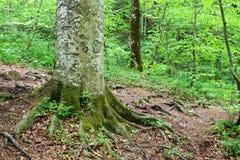 Η εικόνα παρουσιάζει τις ρίζες των δέντρων που καλύπτονται στο βρύο στοκ φωτογραφία με δικαίωμα ελεύθερης χρήσης