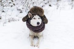 Η εικόνα του αστείου γεροδεμένου σκυλιού είναι στην ΚΑΠ με τα αυτί-χτυπήματα στοκ φωτογραφίες με δικαίωμα ελεύθερης χρήσης