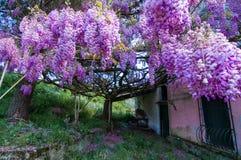 Η εισβολή του wisteria στοκ εικόνες με δικαίωμα ελεύθερης χρήσης