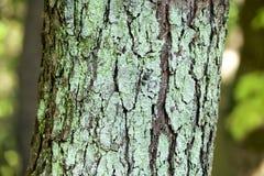 Η λειχήνα του δέντρου λάκκας Στοκ Εικόνες