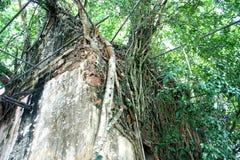 Η εκκλησία και το banyan δέντρο Wat Bangkung, Ampawa, Samutsongkram, Ταϊλάνδη Στοκ φωτογραφίες με δικαίωμα ελεύθερης χρήσης