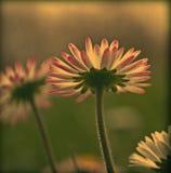 Η εκλεκτής ποιότητας Daisy Στοκ Εικόνες