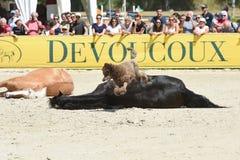 Η εκπαίδευση αλόγου σε περιστροφές αλόγων παρουσιάζει Στοκ Εικόνα
