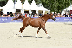 Η εκπαίδευση αλόγου σε περιστροφές αλόγων παρουσιάζει Στοκ Εικόνες