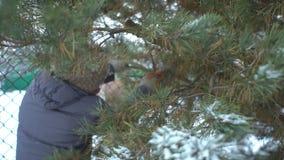Η ελκυστική γυναίκα πριονίζει σθεναρά τους κλάδους πεύκων σε χιονώδη της για τη Χαρούμενα Χριστούγεννα και καλή χρονιά απόθεμα βίντεο