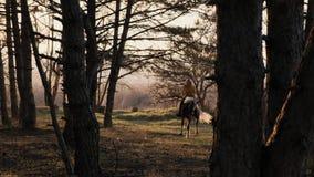 Η ελκυστική ξανθή γυναίκα οδηγά το όμορφο ισχυρό άλογο στο ξύλο φθινοπώρου σε αργή κίνηση φιλμ μικρού μήκους