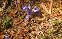 Η εμφάνιση των νέων μπλε λουλουδιών άνοιξη από κάτω από το τελευταίο έτος ` s ξεραίνει τα φύλλα Στοκ Φωτογραφία
