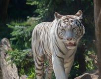 η ενήλικη άσπρη τίγρη του προσώπου βρυχείται μόνο το καλοκαίρι στο ζωολογικό κήπο στοκ εικόνα