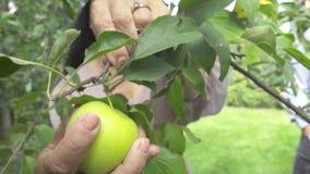 Η ενήλικη γυναίκα μαδά ένα μήλο στον κήπο απόθεμα βίντεο