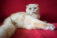 Η ενήλικη σκωτσέζικη γάτα πτυχών βρίσκεται σε ένα κόκκινο υπόβαθρο Ευνουχίστε mal στοκ φωτογραφίες