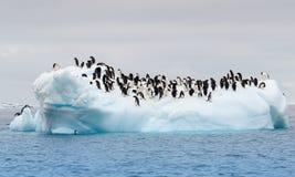 Η ενήλικη Adele penguins ομαδοποίησε σχετικά με το παγόβουνο Στοκ Εικόνα
