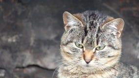 Η ενδιαφερόμενη κοινή τιγρέ γάτα προσέχει το αντικείμενο απόθεμα βίντεο