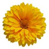 Η ενιαία κίτρινη Daisy Στοκ εικόνα με δικαίωμα ελεύθερης χρήσης