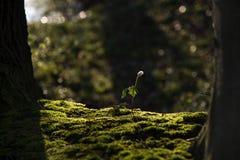 Η ενιαία ξύλινη ανάπτυξη nemorosa Anemone λουλουδιών anemone στο βρύο είναι Στοκ εικόνες με δικαίωμα ελεύθερης χρήσης