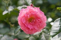 Η ενιαία ποικίλη άνθιση αυξήθηκε λουλούδι στον κήπο μια ηλιόλουστη ημέρα κηπουρική συλλογής Rosary κινηματογράφηση σε πρώτο πλάνο στοκ φωτογραφίες