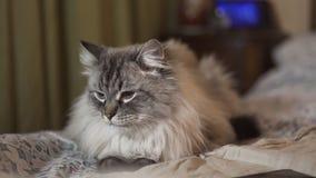 Η εξωτική σιβηρική γάτα μεταμφιέσεων Neva με τα μπλε μάτια αντιμετωπίζε απόθεμα βίντεο
