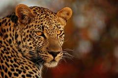 Η λεοπάρδαλη κοιτάζει επίμονα Στοκ εικόνα με δικαίωμα ελεύθερης χρήσης