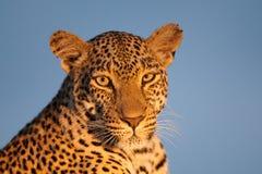 Η λεοπάρδαλη κοιτάζει επίμονα Στοκ Φωτογραφίες