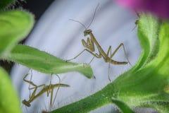 Η επίκληση Mantises μοιράζεται ένα φύλλο στοκ φωτογραφίες