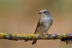 Η επισημασμένη flycatcher (striata Muscicapa) διάταξη θέσεων σε έναν κλάδο στοκ εικόνες