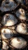 Η επιφάνεια Philodendron Στοκ Φωτογραφία