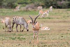 Η επιχορήγηση ` s gazelle Στοκ φωτογραφίες με δικαίωμα ελεύθερης χρήσης