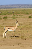 Η επιχορήγηση ` s gazelle Στοκ φωτογραφία με δικαίωμα ελεύθερης χρήσης