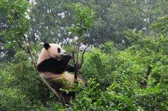 Η ερευνητική Chengdu βάση της γιγαντιαίας διασταύρωσης Panda Στοκ Φωτογραφίες