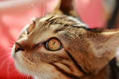 Η εσωτερική γάτα προσέχει με το ενδιαφέρον τι συμβαίνει Στοκ Εικόνες