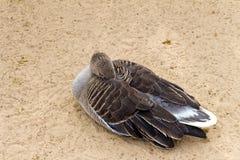 Η λευκομέτωπη χήνα (καφετιά πάπια) χαλαρώνει και ύπνος στην άμμο Στοκ εικόνα με δικαίωμα ελεύθερης χρήσης