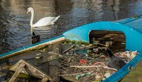 Η ευρασιατική φαλαρίδα κάθεται σε μια φωλιά φιαγμένη από κλαδίσκους και απορρίμματα, σε μια μερικώς βυθισμένη βάρκα σε ένα κανάλι στοκ εικόνες