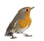 Η ευρωπαϊκά Robin - rubecula Erithacus στοκ φωτογραφία