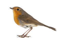 Η ευρωπαϊκά Robin - rubecula Erithacus στοκ φωτογραφία με δικαίωμα ελεύθερης χρήσης