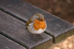 Η ευρωπαϊκά Robin - rubecula Erithacus Στοκ Εικόνες