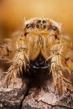 Η ευρωπαϊκή αράχνη κήπων, Diadem αράχνη, διαγώνια αράχνη, έστεψε τον υφαντή σφαιρών, diadematus Araneus Στοκ Φωτογραφίες