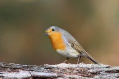 Η ευρωπαϊκή διάταξη θέσεων του Robin (rubecula Erithacus) σε έναν κλάδο Στοκ Φωτογραφίες
