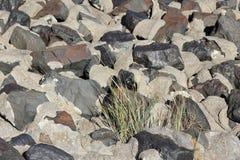 Η ευρωπαϊκή χλόη παραλιών αυξάνεται μεταξύ των πετρών Στοκ Εικόνα