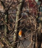 Η ευρωπαϊκή Robin σε έναν κλάδο Στοκ Εικόνα