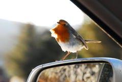 Η ευρωπαϊκή Robin Στοκ Φωτογραφίες