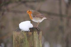Η ευρωπαϊκή Robin, rubecola Erithacus Στοκ Φωτογραφίες