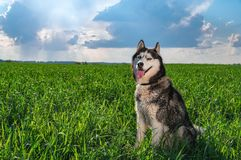 Η ευτυχής γεροδεμένη συνεδρίαση σκυλιών πορτρέτου στον ηλιόλουστο πράσινο τομέα ενάντια στον ουρανό με τη βροχή καλύπτει Σιβηρικά Στοκ Εικόνες