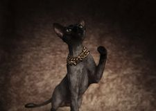 Η εύθυμη γάτα metits που φορά το περιλαίμιο αυξάνει το πόδι και ανατρέχει στοκ φωτογραφία με δικαίωμα ελεύθερης χρήσης