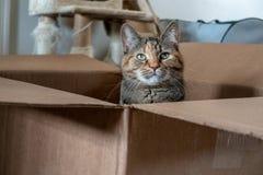 Η εύθυμη εσωτερική γάτα ταρταρουγών θέτει σε ένα καφετί κουτί από χαρτόνι στοκ εικόνες