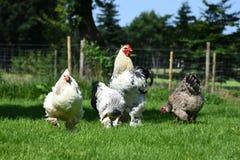 η εύθυμη κοτόπουλου χαρακτήρων Πάσχας κάρτα απεικόνισης οικογενειακών χαιρετισμών ευτυχής συμβολίζει Στοκ Εικόνα