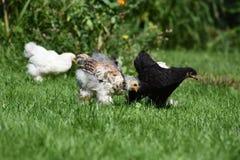 η εύθυμη κοτόπουλου χαρακτήρων Πάσχας κάρτα απεικόνισης οικογενειακών χαιρετισμών ευτυχής συμβολίζει Στοκ φωτογραφία με δικαίωμα ελεύθερης χρήσης